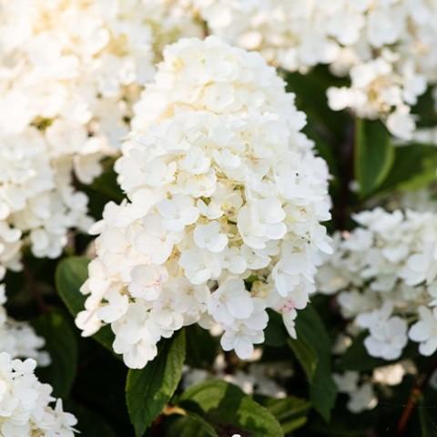 Гортензия Little Blossom фото