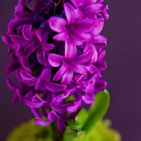 Гиацинт Purple Sensation (горшок 12 см) Diamond Collection фото