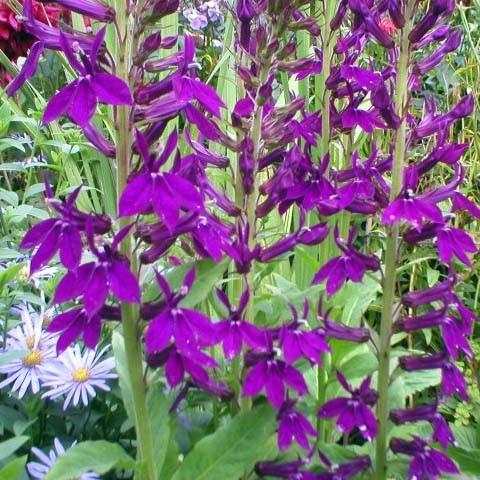 Лобелия Hadspen Purple фото