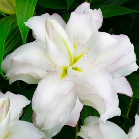 Лилия Lotus Beauty фото