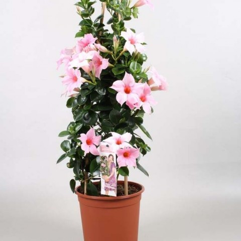Мандевилла Cream Pink фото