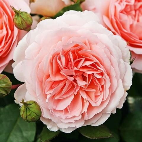 Роза Marchenzauber фото