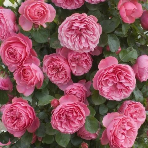 Роза Leonardo da Vinci фото