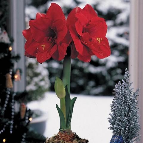 Амариллис Merry Xmas фото