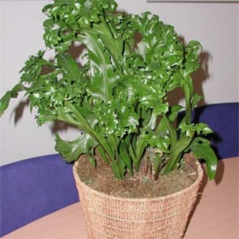 Микросорум Green Flame фото