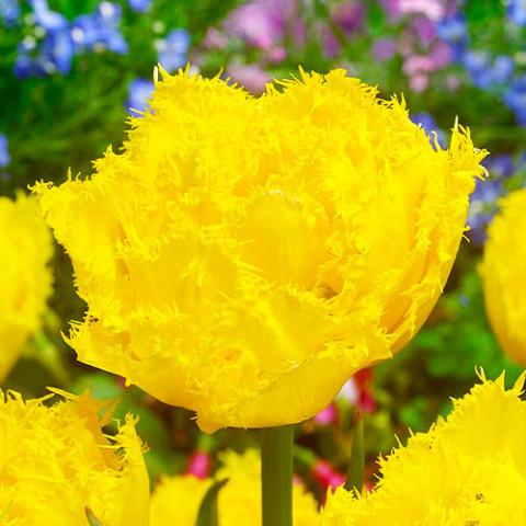 Тюльпан Mon Amour  фото