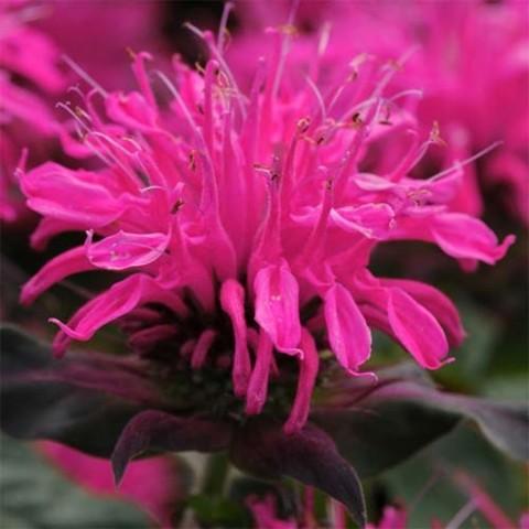 Монарда Balmy Rose фото