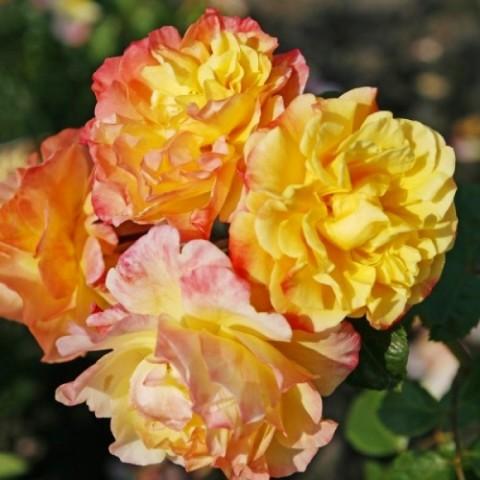 Роза Moonlight фото