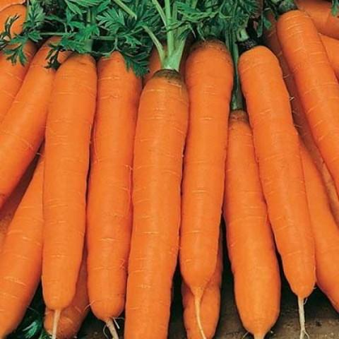 Морковь Амстердамская фото