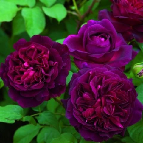 Роза Munstead Wood фото