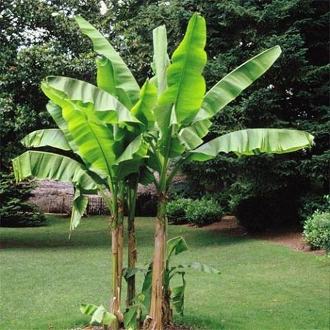 Банан японский фото