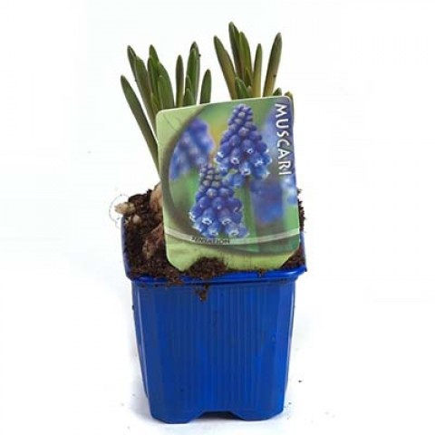 Мускари Armeniacum (горшок 7 см) фото