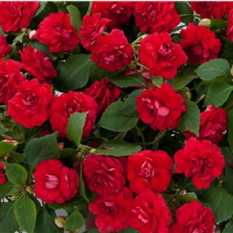 Бальзамин Musica Elegant Red фото
