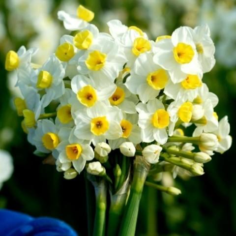 Нарцисс таццета Avalanche фото