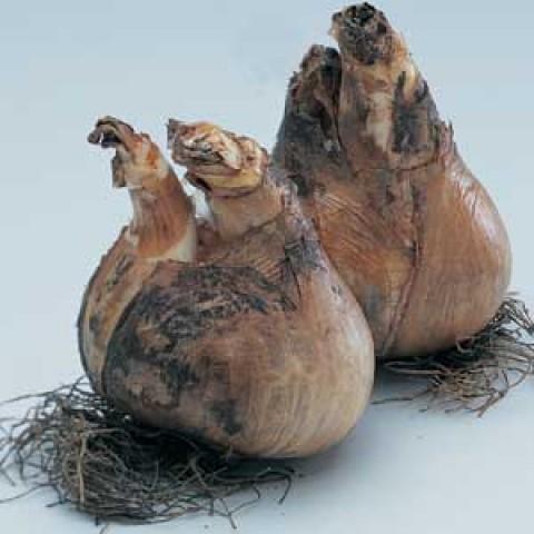Нарцисс Popeye (Брендовые луковицы KAPITEYN®) фото