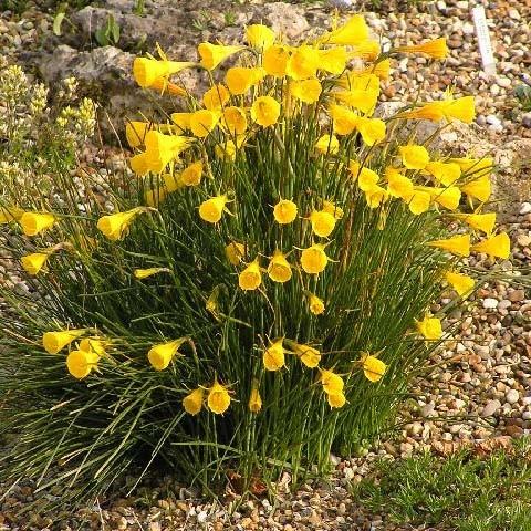 Нарцисс Bulbocodium фото