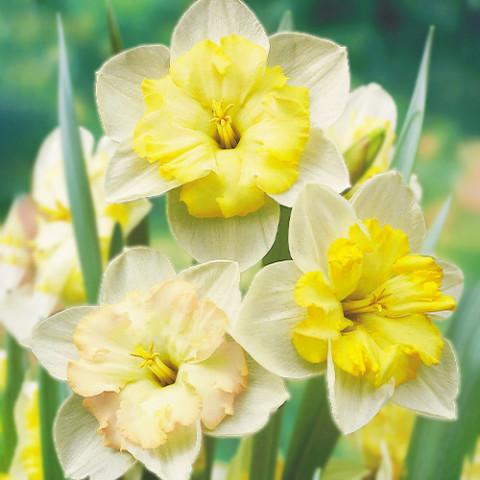 Нарцисс Changing Colors фото
