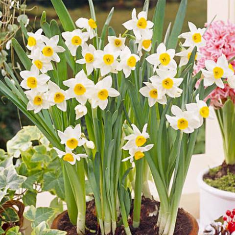 Нарцисс таццета Chinese Sacred Lily фото