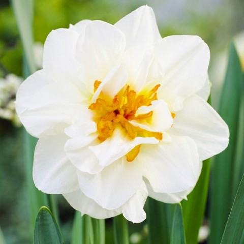 Нарцисс Flower Drift фото