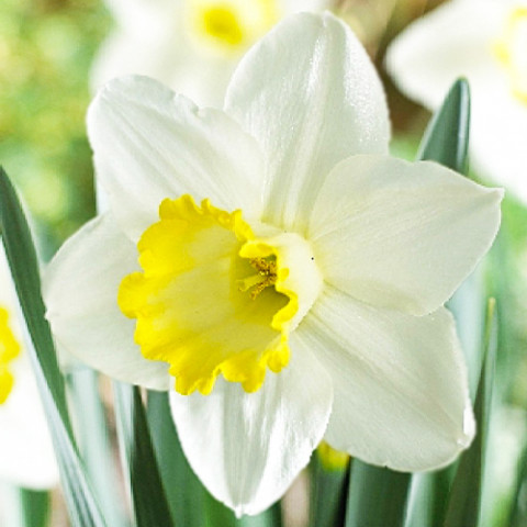 Нарцисс Every Day фото