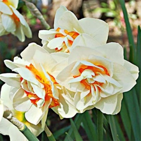 Нарцисс Flower Parade фото