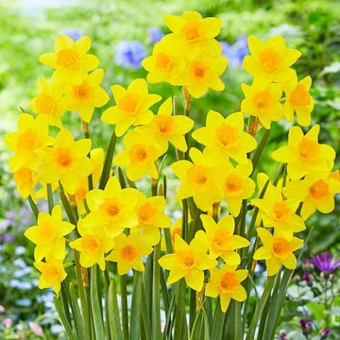 Нарцисс Garden Opera фото