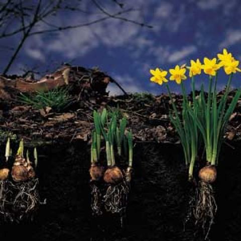 Промо-пак Нарцисс Botanical Mixed (Брендовые луковицы KAPITEYN®) фото