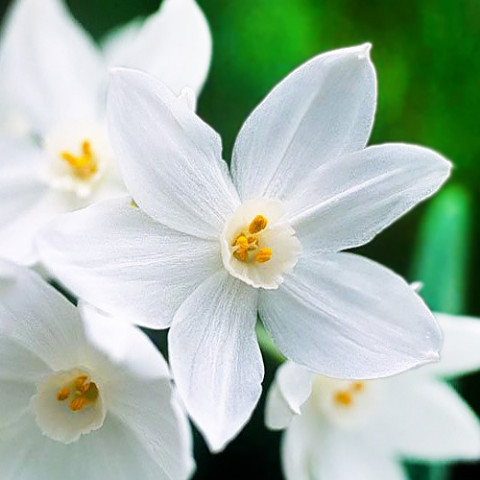 Нарцисс таццета Nir фото