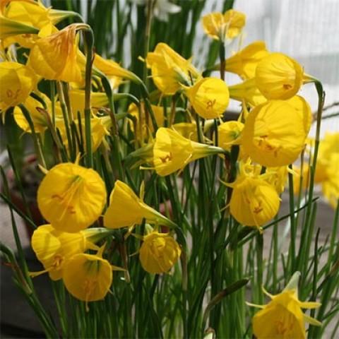 Нарцисс Oxford Gold (горшок 9 см) фото