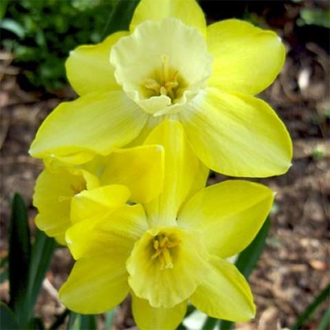 Нарцисс Pipit фото