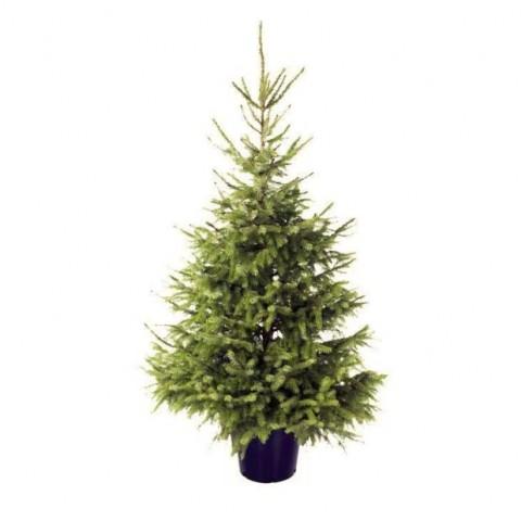 Новогодня елка Omorika (срезанная) 185-210 см фото