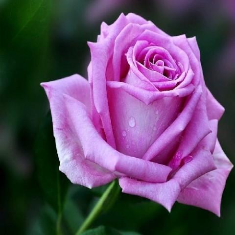 Роза Аква фото