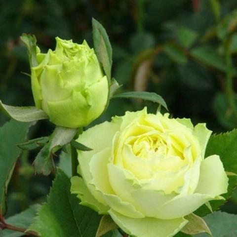 Роза Лимбо фото