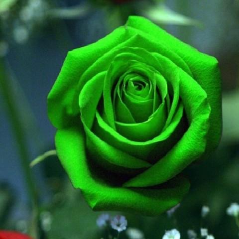 Роза Зеленая фото