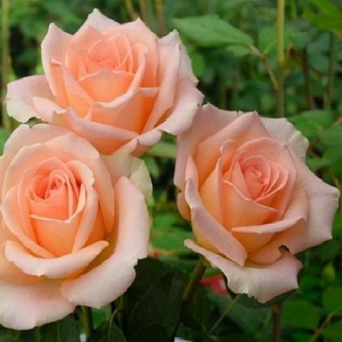 Роза Версилия фото