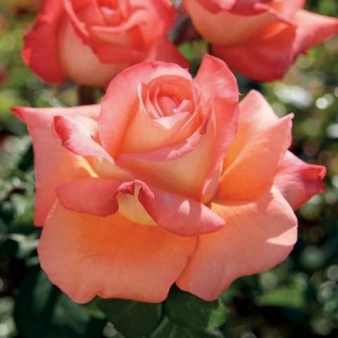 Роза Малибу фото