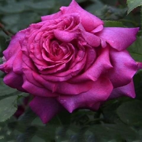 Роза Юрианда фото