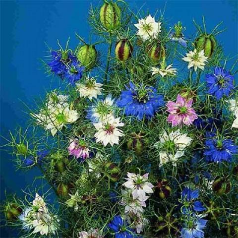 Нигелла Persian Jewels фото