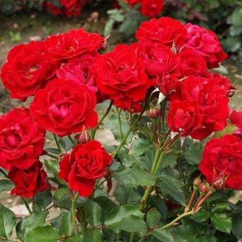 Роза Nina Weibull фото