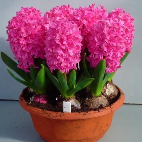Гиацинт Pink Pearl (горшок 7 см) фото