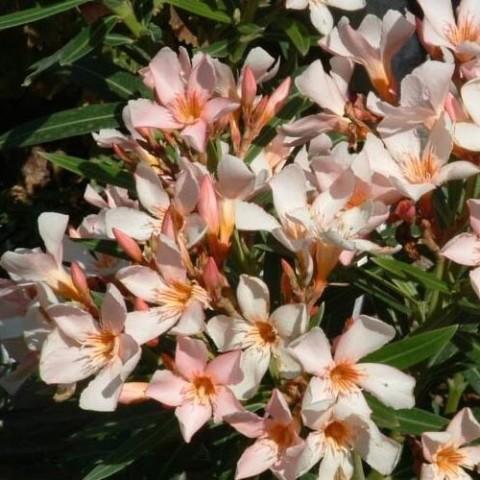 Олеандр Petit Pink фото