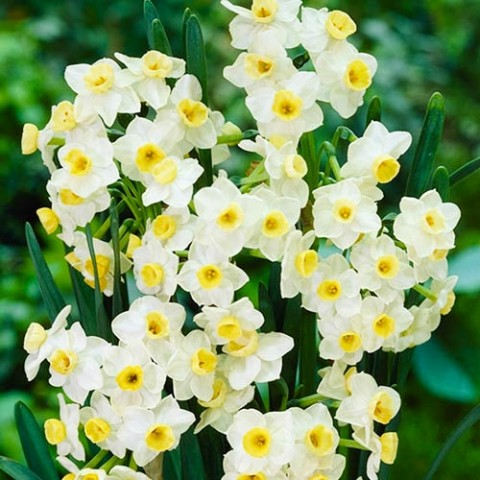 Нарцисс таццета Omri фото