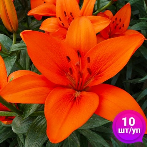 Лилии Orange Summer (Эконом-упаковка 10 шт) фото