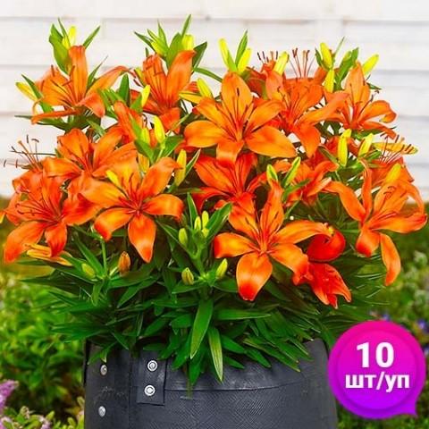 Лилии Orange Matrix (Эконом-упаковка 10 шт) фото