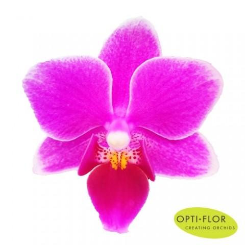 Фаленопсис Минифлора Fleur фото
