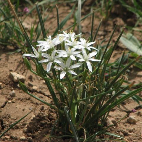 Орнитогалум Umbellatum фото
