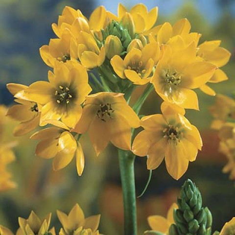 Орнитогалум Dubium Yellow фото