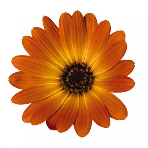 Остеоспермум Оранжевый фото