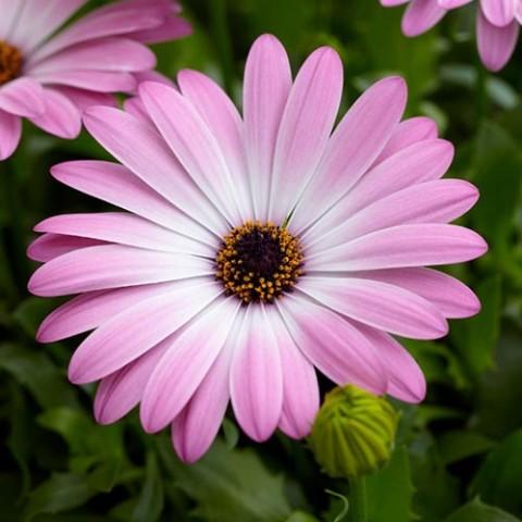 Остеоспермум Розовый фото