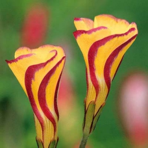 Оксалис (кислица) Versicolor Golden Cape фото